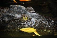 Krokodyl patrzeje od wody Zdjęcie Royalty Free