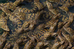 Krokodyl pepiniery staw Obrazy Stock