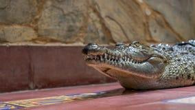 krokodyl pokazywać zęby Zdjęcie Royalty Free