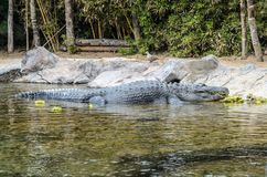 Krokodyl przy zoo w Loro parku, Puerto De La Cruz obraz royalty free
