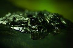 krokodyl przygląda się s Obrazy Royalty Free