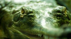 krokodyl przygląda się s Zdjęcia Stock