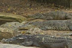 krokodyl rolny Thailand Obraz Stock