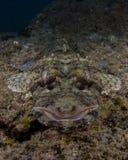 Krokodyl ryba w koralu Bazaruto Isaland, Mozambik Zdjęcia Royalty Free
