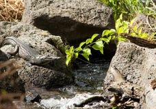 krokodyl rzeka Zdjęcia Stock