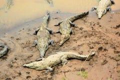 Krokodyl Rzeka Obraz Stock