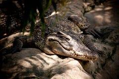 Krokodyl rzeki zabójca Fotografia Stock