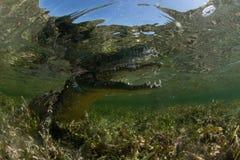 krokodyl słona woda Zdjęcie Stock