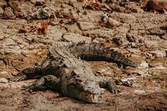 Krokodyl w cañon Del Sumidero Chiapas Meksyk, meksykańscy zwierzęta fotografia stock