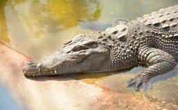 Krokodyl w cemencie Obrazy Stock