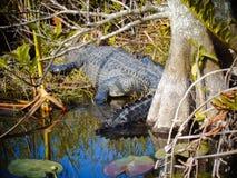 krokodyl w Florida sunning obraz stock