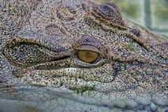 Krokodyl w gospodarstwie rolnym fotografia stock