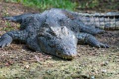 Krokodyl w parku narodowym Kenja, Afryka obraz stock