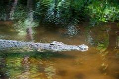 Krokodyl w parku narodowym Kenja, Afryka fotografia royalty free