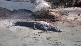 Krokodyl w warunkach wylęgarnia zdjęcia royalty free