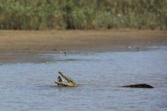 Krokodyl w wodzie obrazy royalty free