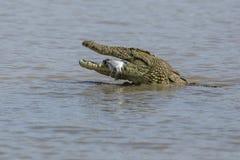 Krokodyl w wodzie fotografia stock
