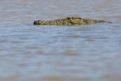Krokodyl w wodzie obraz royalty free