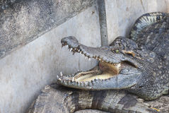 Krokodyl w zoo (Tajlandia) Zdjęcie Royalty Free