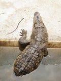 Krokodyl wspina się out na banku zdjęcia royalty free