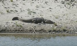 Krokodyl wygrzewa się na piasek plaży ramganga rzeka Obrazy Royalty Free