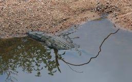Krokodyl wygrzewa się w słońcu przy Kruger park narodowy Obrazy Stock