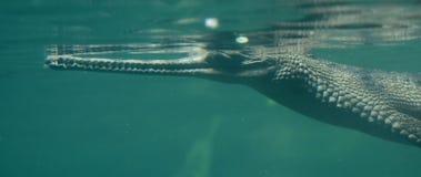 Krokodyl z Długim cienieje nos Pod wodą Fotografia Stock