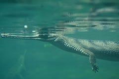 Krokodyl z Długim cienieje nos Pod wodą Zdjęcie Stock