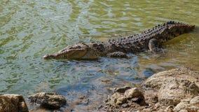 Krokodyl z dużymi zębami blisko do brzeg obrazy stock