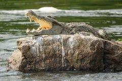 Krokodyl z otwartym usta w Nil rzece Obrazy Stock