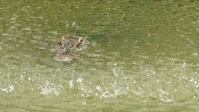 Krokodyl z wody kroplą zbiory wideo