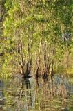 krokodyla australijski bagno Zdjęcie Stock