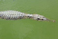 Krokodyla close-up Obrazy Royalty Free