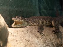 krokodyla crocodylus morelet moreletii s zdjęcia royalty free