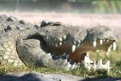 krokodyla crocodylus Nile niloticus Zdjęcie Royalty Free