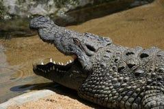 krokodyla crocodylus Nile niloticus Zdjęcie Stock