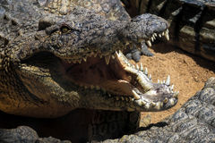 krokodyla crocodylus Nile niloticus Fotografia Royalty Free