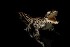 krokodyla cuban Obraz Stock