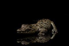 krokodyla cuban Fotografia Stock