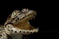 krokodyla cuban Obraz Royalty Free