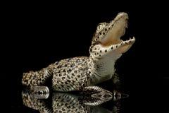 krokodyla cuban Obrazy Royalty Free
