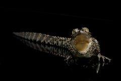 krokodyla cuban Zdjęcia Royalty Free