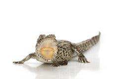 krokodyla cuban Obrazy Stock