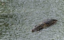krokodyla deszcz Fotografia Royalty Free