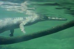 Krokodyla dopłynięcie Pod wodą Obrazy Royalty Free