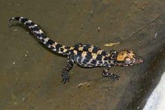 Krokodyla dziecko Fotografia Stock