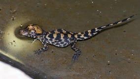 Krokodyla dziecko Zdjęcia Royalty Free