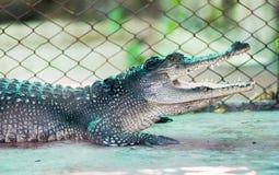 Krokodyla głodu jedzenie Fotografia Royalty Free