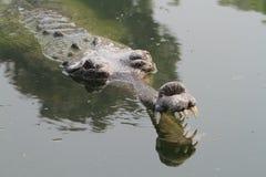 Krokodyla Ganges gawial Zdjęcie Stock