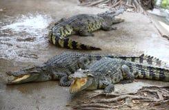krokodyla gospodarstwo rolne fotografia stock